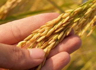 Five Grains of Rice