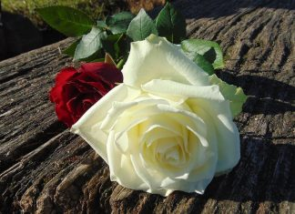 Roses for you my love