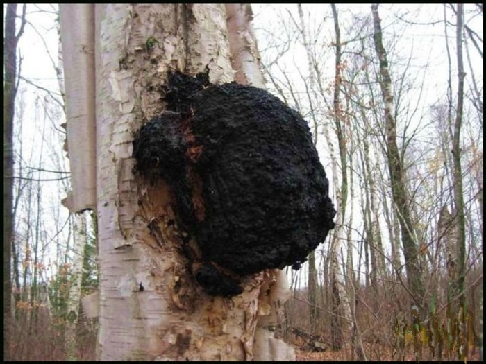 chaga mushroom on tree