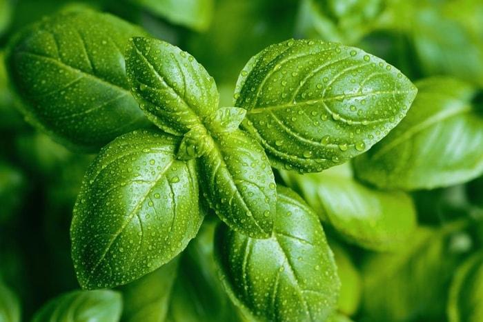 natural remedies basil